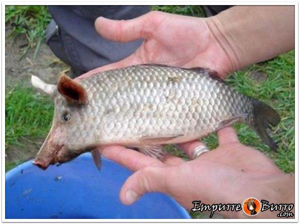 0306-peixeporco